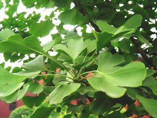 كبسولات نبات الجنكة الصينية لتقوية الذاكرة    Doctor's Best, Extra Strength Ginkgo, 120 mg, 120 Veggie Cap