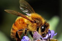 Bukan Cuma Hasilkan Madu Ternyata Lebah  Juga Pandai Matematika