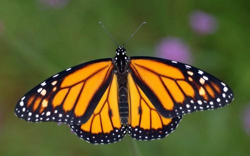 الحيوانات البيوضة   الفراشة