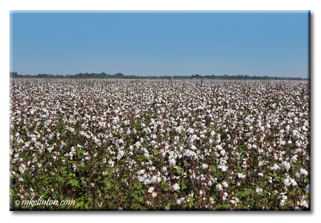 Louisiana cotton fields