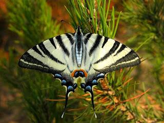 Iphiclides podalirius - Flambé - Papillon sinon