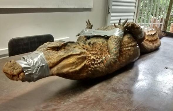 Jacaré de dois metros é capturado em campus de Universidade em Salvador