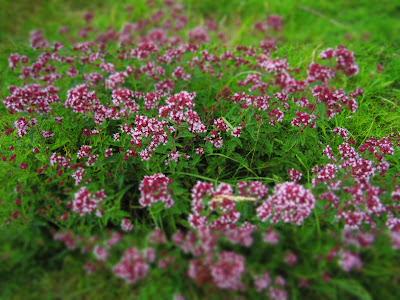 Origanum vulgare - Wild Marjoram