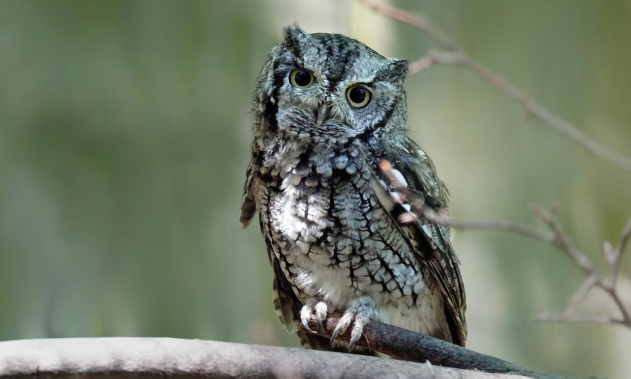 Macam Macam Jenis Burung Hantu Di Indonesia Lengkap Terbaru Burung Hantu