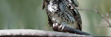 Macam - Macam Jenis Burung Hantu di Indonesia Lengkap Terbaru
