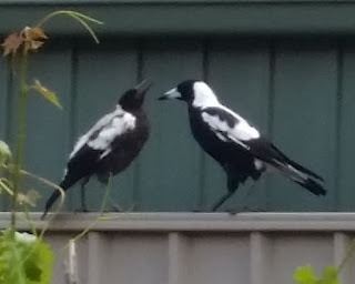 Two magpies perched on a beige galvanised fence facing each other. Juvenile magpie is on the left with father on the right. The juvenile's feathers are fluffy and speckled with grey. Its beak is black.