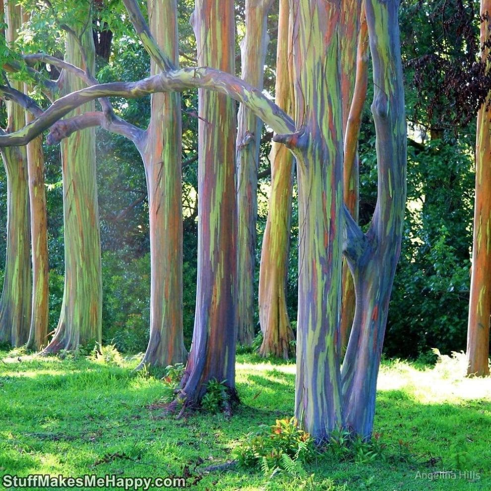 10. Rainbow eucalyptus trees on the island of Maui
