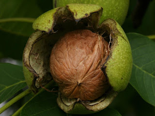 Walnut Fruit Pictures
