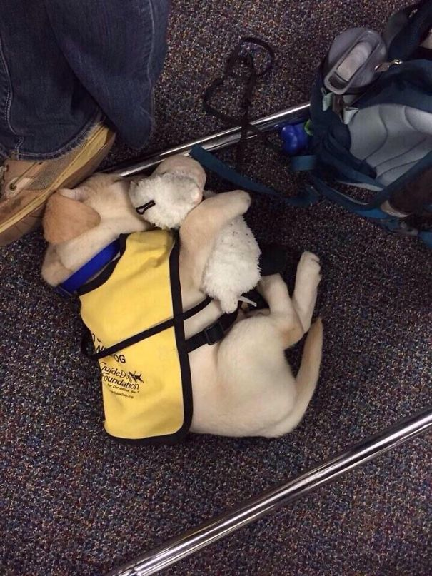 #2 Guide Dog Puppy With His Teddy Bear - 10 Puppies On Their First Days Of Work That Will Make Your Day