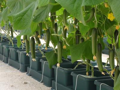 Hydroponics Plants  Cucumber