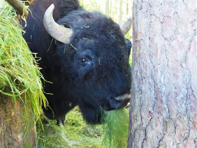 żubroń Brutus, mieszanka trójgatunkowa, mieszanka krowy z żubrem, stacja PAN w Popielnie