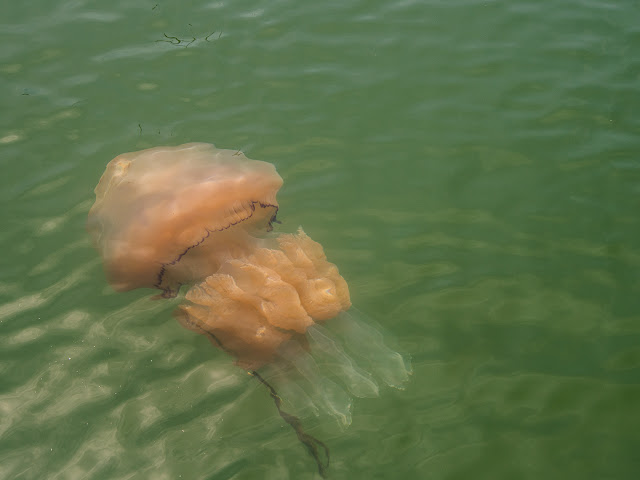 Photo of the jellyfish just below the surface of the water