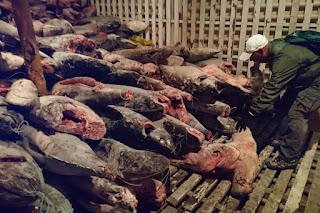finned sharks, dead tuna, shark finning, Galapagos