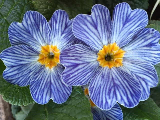blauweiss gestreifte blühende Primel