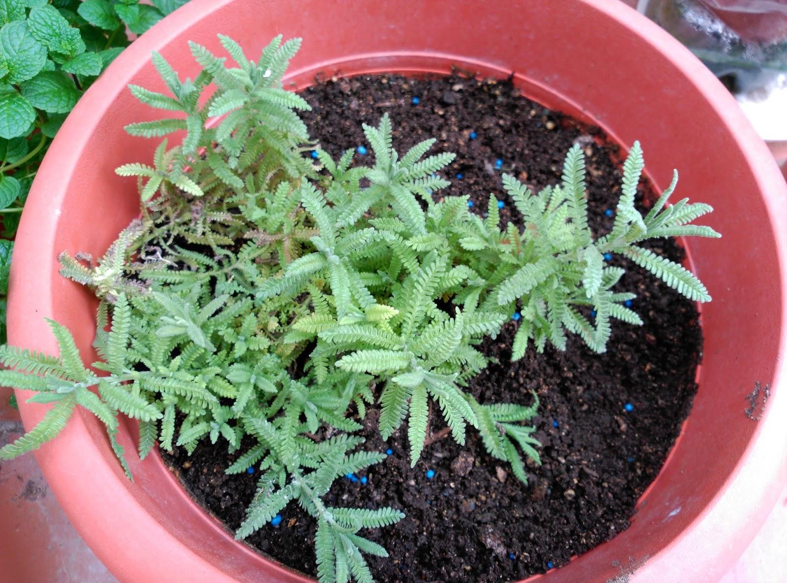 Huerto casero de quiquet como plantar esquejes de lavanda - Cultivar lavanda en casa ...