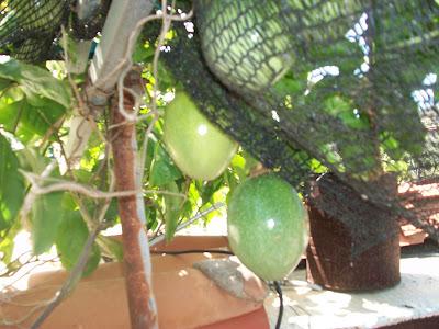 Passiflora edulis, fruto