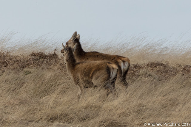A calf and hind are moving together across the moor, but is she becoming impatient with her offspring?