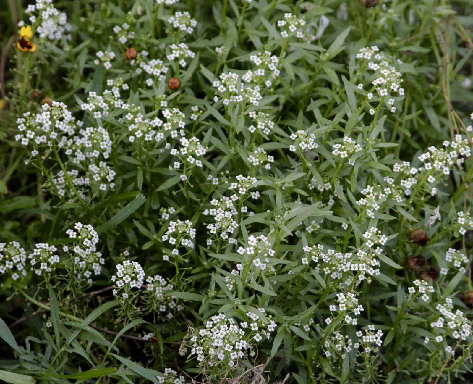 This Pretty Little White Flower Is Blooming In My Wildflower Bed I M Not Sure What It Called But Think Some Kind Of Alyssum