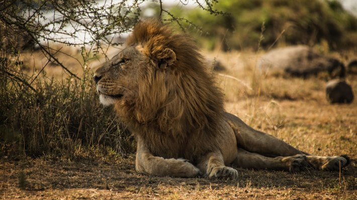 Wallpaper: The Lion Male of Serengeti