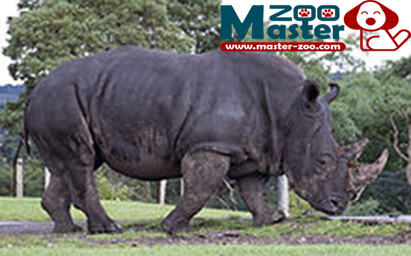 ماذا تعرف عن وحيد القرن الأبيض Rhinoceros