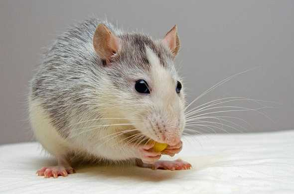 rat-فأر