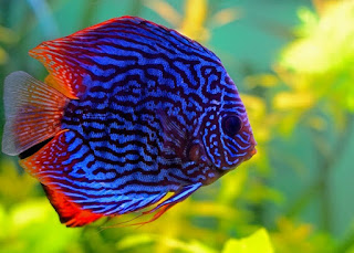 Budidaya Ikan Discus Di Aquarium Infoakuakultur Com