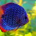 Tahapan Cara Budidaya Ikan Discus Yang Tepat