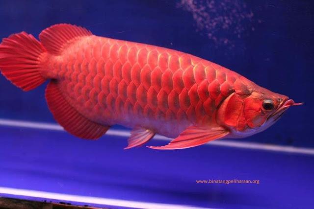 gambar, foto Nama Latin Ikan Arwana Dan Jenis Jenisnya Scleropages formosus.