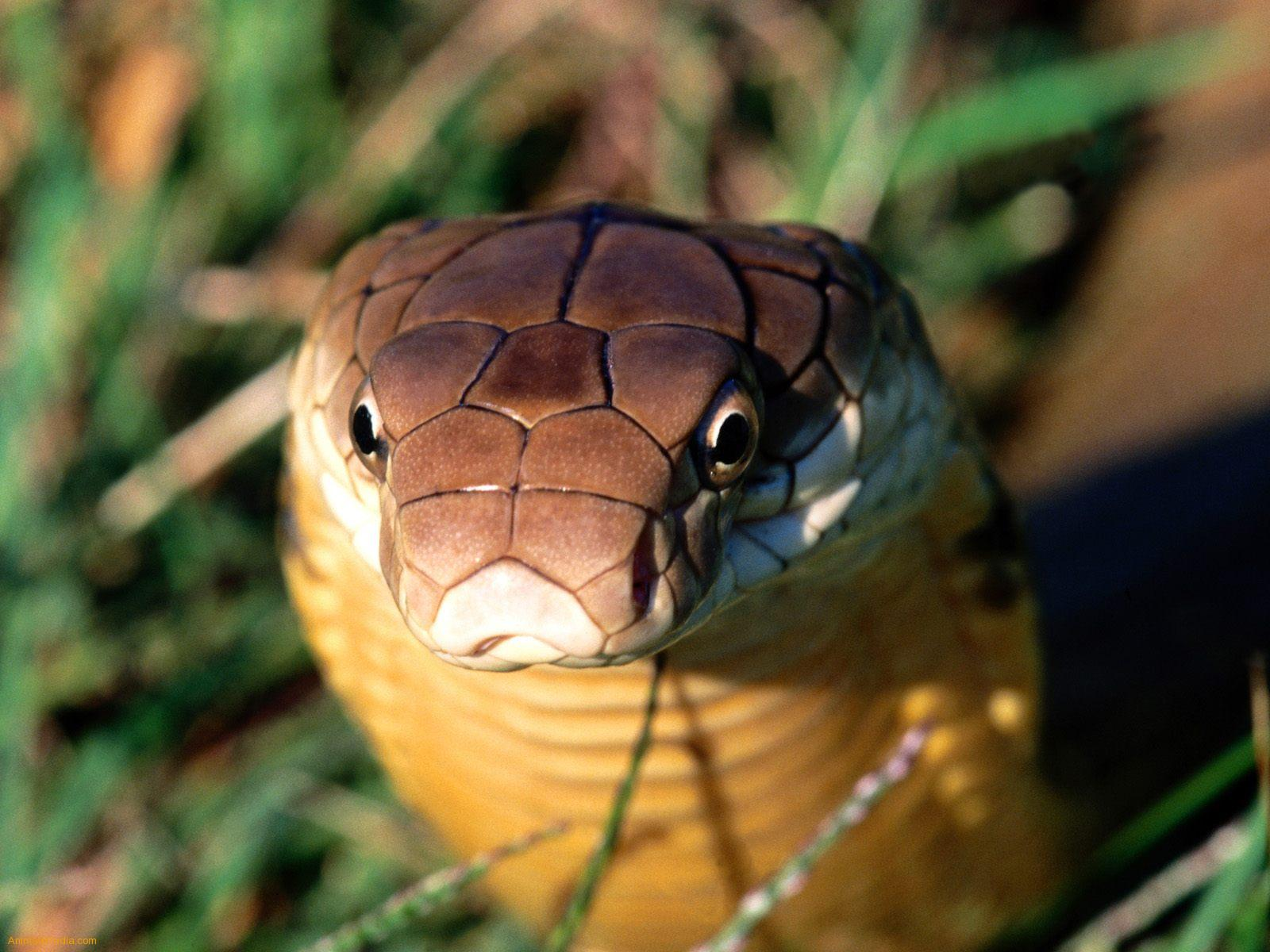King Cobra Snake Photos: Sumonsenji: King Cobra