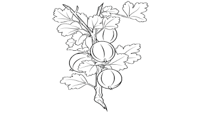 gooseberry clipart black and white