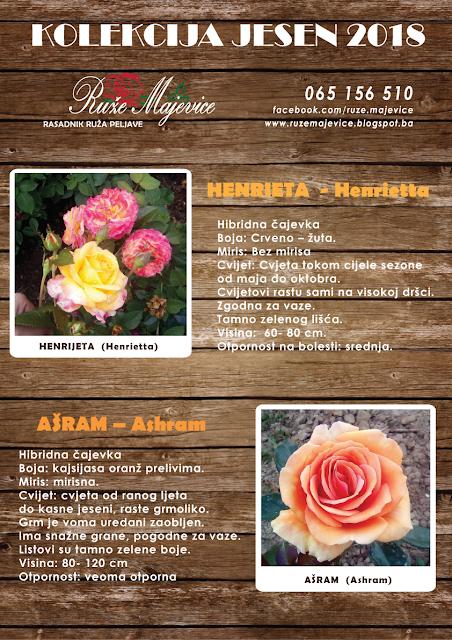 Roze-žuta ruža Henrijeta i naradžasta Asram ruža