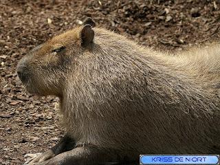 Capybara - Cabiaï - Hydrochaeris hydrochaeris