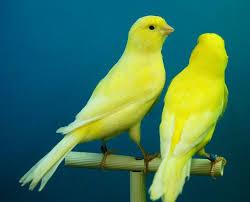 Memelihara burung kenari memang menyenangkan Cara Menjodohkan Kenari Jantan Dan Betina Siap Kawin