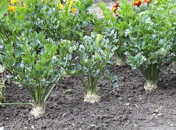 Comment cultiver le Céleri bio