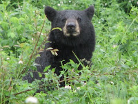 Vancouver to Alaska - A black bear near Teetering Rock Trailhead