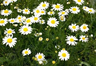 Ромашка – цветок мужского имени Иван
