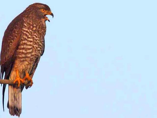 birds, Buzzard Eagle, Migratory, Japan, Okinawa