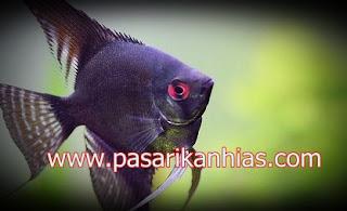 Ikan hias Bala-Bala