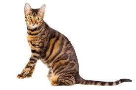Kucing Toyger dan Karakteristiknya