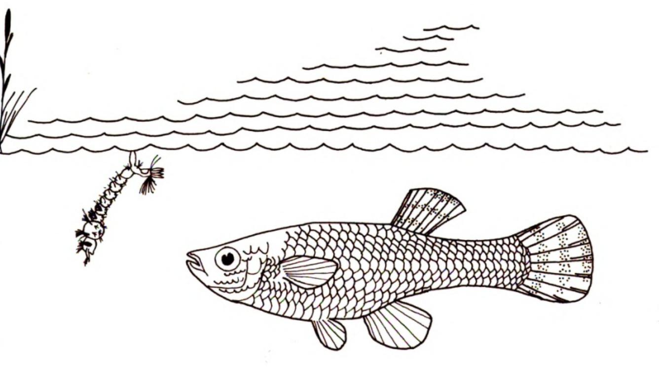 Virginia Tech Ichthyology Class : Mosquitofish, the Wrong