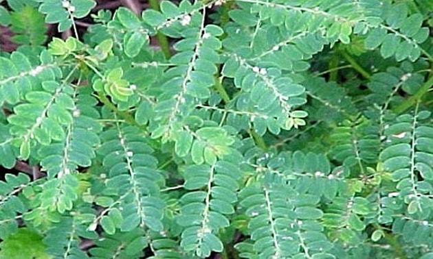 Quebra-pedra (phyllanthus miruri L.)