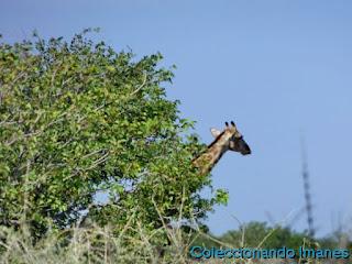 Etosha Animales Namibia Safari Jirafa