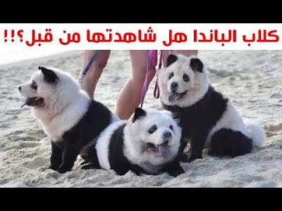 كلاب الباندا التي لم تراها من قبل