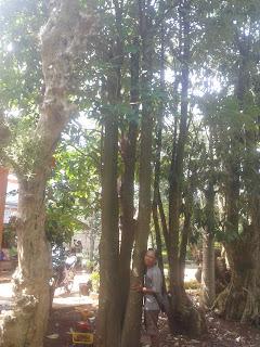 Harga pohon pule
