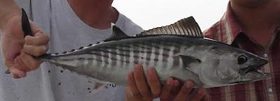 Ikan Bonito