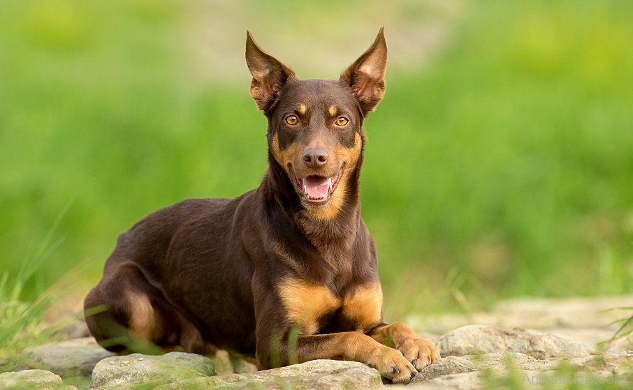 Brown Short Haired Dog Breeds