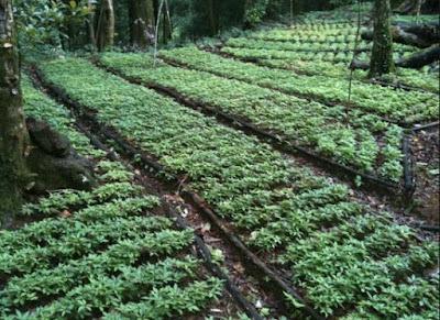 Các vùng trồng sâm đã bảo tồn và nhân giống sâm Ngọc Linh hiệu quả