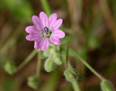Perrubio (Geranium pyrenaicum)