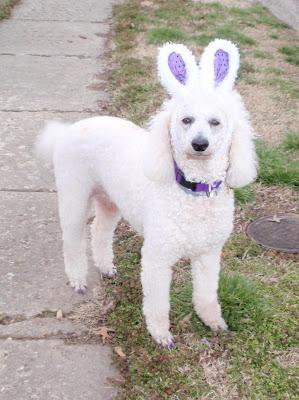 Carma Poodale, white standard poodle wearing bunny ears