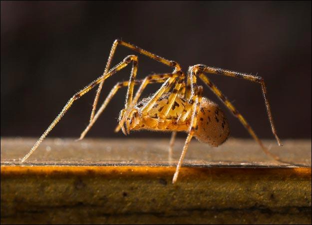 nhện phun keo